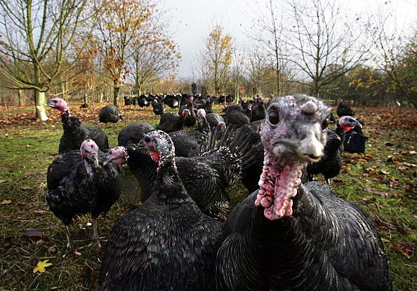 Farmer Prepares His Turkeys For Christmas