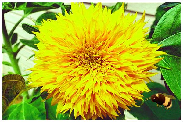 Sunflower - photo Michelle Wolfe